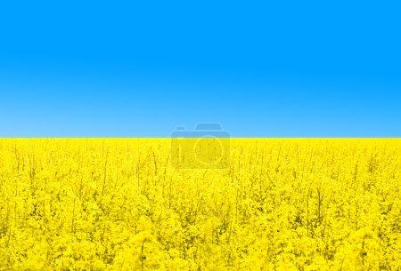 Photo pour Champ de colza contre le ciel bleu. Symbole drapeau ukrainien - image libre de droit