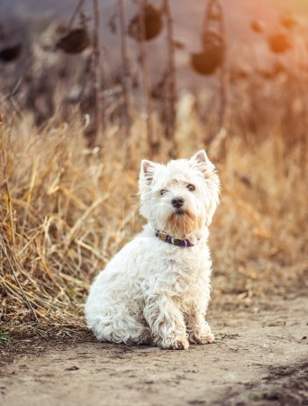 Small dog breeds White Terrier