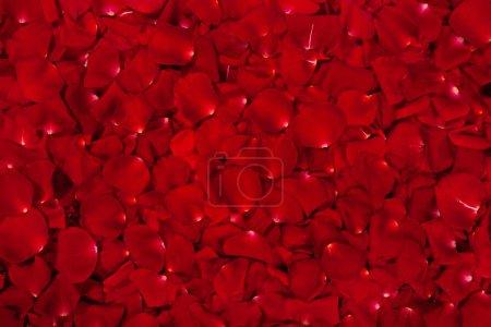 Foto de Fondo de pétalos de rosa rojas hermosas - Imagen libre de derechos