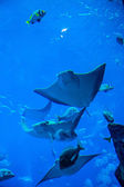 Stingray fish. Aquarium tropical fish on a coral reef