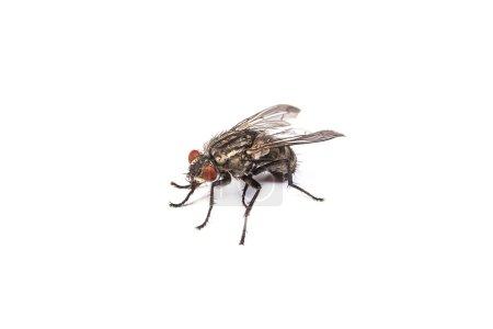 Photo pour Coup de la macro d'une mouche domestique, mouche isolé sur fond blanc - image libre de droit