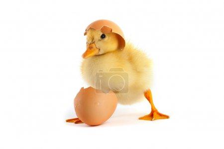 Photo for Yellow small duckling with egg isolated on a white background - Royalty Free Image