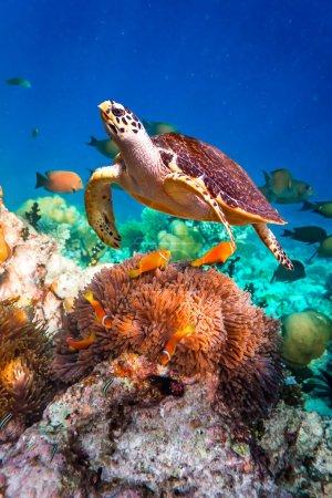 Photo pour Tortue imbriquée - Eretmochelys imbricata flotte sous l'eau. Maldives Océan Indien récif corallien . - image libre de droit