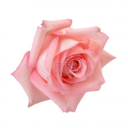 Photo pour Délicate rose macro isolée sur blanc. Chemin de coupe inclus - image libre de droit