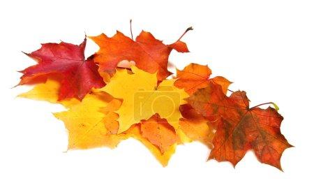 Photo pour Pile de feuilles d'érable de couleur automne - image libre de droit
