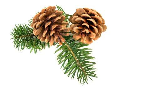 Photo pour Cônes de pin avec branche sur fond blanc - image libre de droit