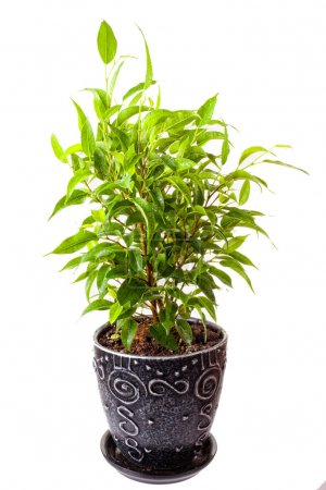 Photo for Benjamin's ficus in a pot on a white background - Royalty Free Image