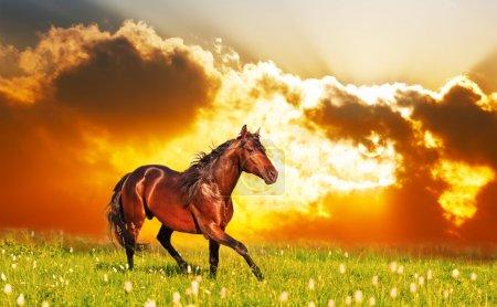 Photo pour Bay Horse saute sur une prairie contre un coucher de soleil - image libre de droit