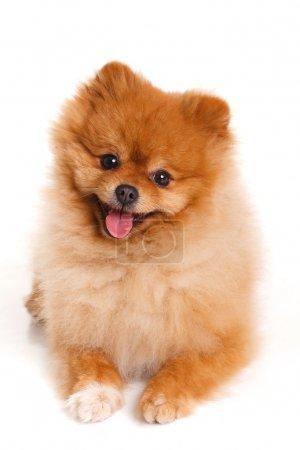 Spitz, Pomeranian dog on white background, studio shot