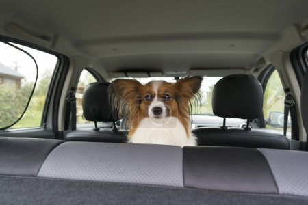Papillon inside a car