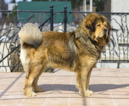 Portrait of a Tibetan Mastiff