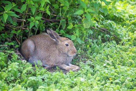 Photo for European hare aka Lepus europaeus - Royalty Free Image