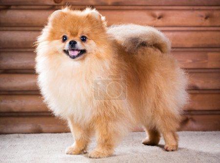 Portrait Pomeranian dog