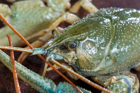 Live crayfish close up