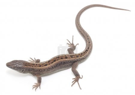Brown lizard isolated on a white background...