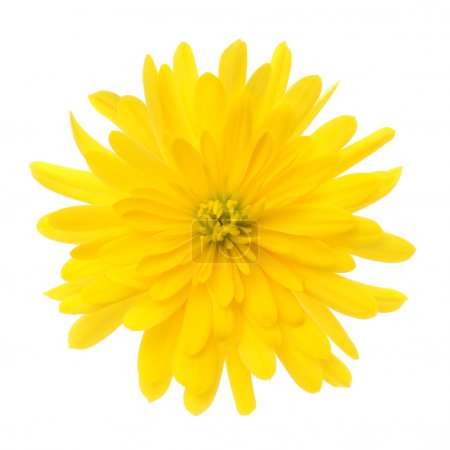 Photo for Yellow flower isolated on a white background - Royalty Free Image