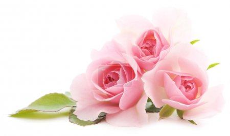 Photo pour Trois belles roses roses sur fond blanc - image libre de droit