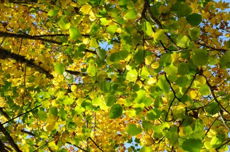 Photo for An image of bright green and yellow autumn leaves - Royalty Free Image