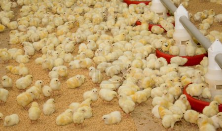 Chickens . Poultry farm