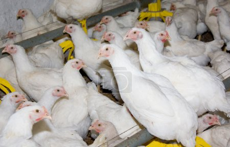 Photo pour Exploitation avicole rurale avec jeunes poussins blancs - image libre de droit