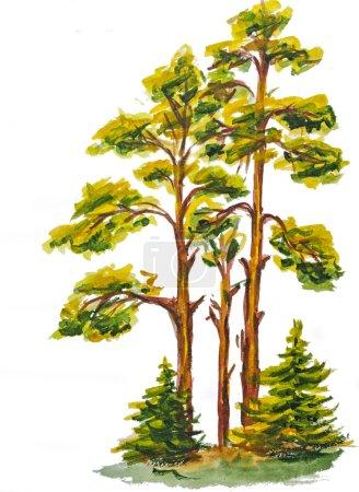 Photo pour L'aquarelle de bois de pin isolé sur blanc - image libre de droit