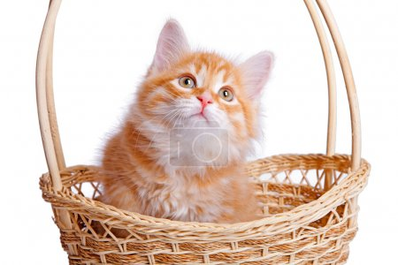 Small kitten in straw basket.