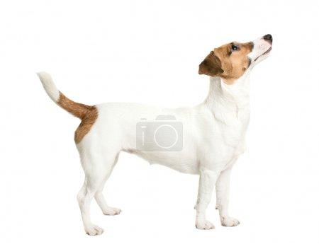 Photo pour Jack Russell Terrier levant les yeux avec un regard intéressé - image libre de droit