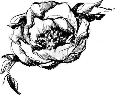 a sketch of bud of flower of peony