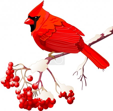 Red Cardinal bird sitting on mountain ash branch...