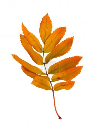 Autumn  ash branch with leaves isolated on a white background