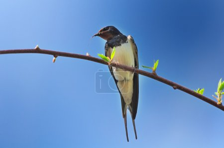 Spring Swallow Sitting on Tree