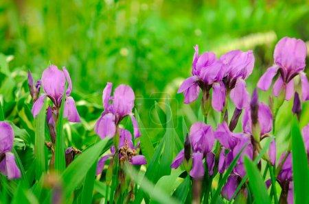 Blue Flag (Iris) Flowers on Flower Bed in Garden