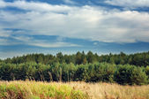 Summer Landscape with Young Pine Trees