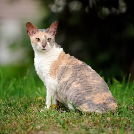 Cornish Rex Cat with Curly Hair Outdoors