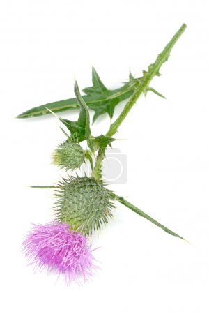 Photo pour A milk thistle (silybum marianum) plant with a pink flower isolated on a white background - image libre de droit