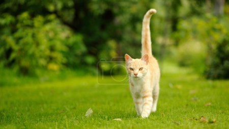 Photo for A graceful red cat walking on green grass - Royalty Free Image