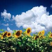 yellow sunflower with the sky