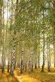 Summer birches grove