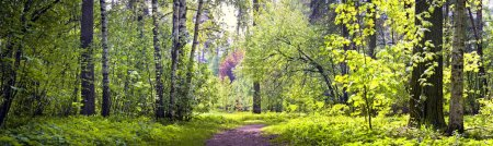 Photo for Panorama of spring forest - Royalty Free Image