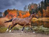 Chestnut horse run across autumn lake