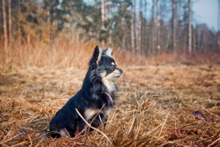 Photo for Long-hair Chihuahua dog in sunny spring park - Royalty Free Image