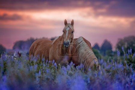 Photo pour Chevaux palomino et châtaigniers dans le champ de fleurs au lever du soleil - image libre de droit
