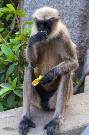 Photo pour Langur gris ou langur hanuman manger banane à hampi, Inde - image libre de droit