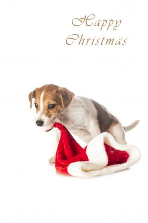 Jack Russell Terrier playing with red Santa hat