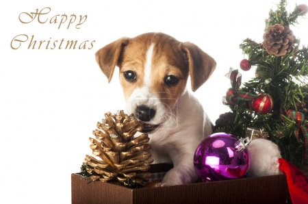 Jack Russell Terrier playing with Christmas decorations