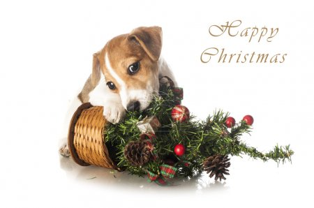 Jack Russell Terrier puppy with Christmas tree