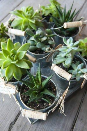 Photo pour Plantes succulentes : aeonium, echeveria, adromischus et haworthia dans des petits seaux - image libre de droit