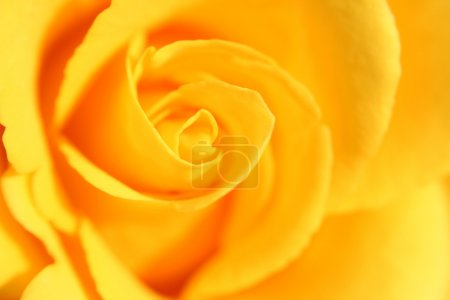 Photo for Yellow rose flower as close up - Royalty Free Image