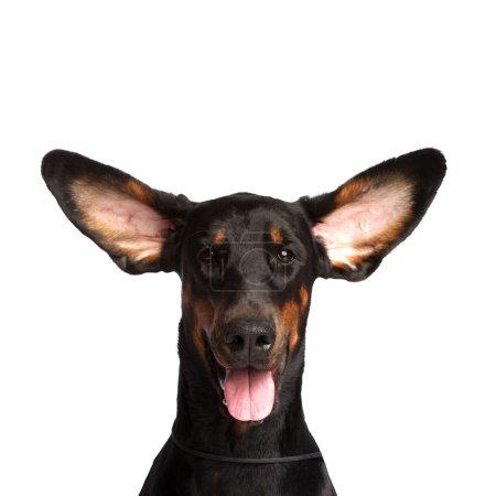 Cute ears of dobermann dog isolated on white...