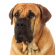 Rare breed South African boerboel posing in studio...